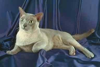 أنواع القطط الأليفة  Burmese